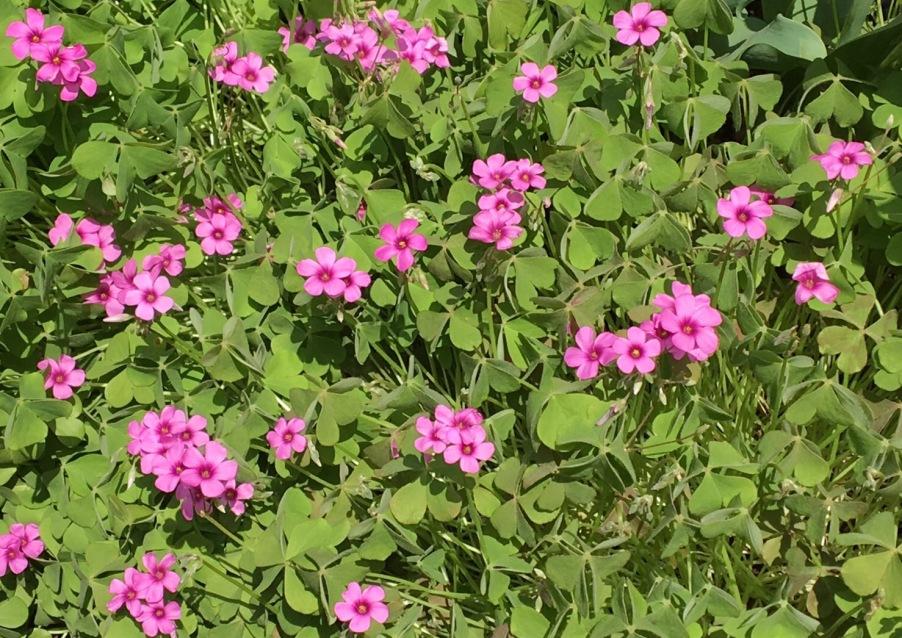 名も知らぬ小さなピンクの春の花