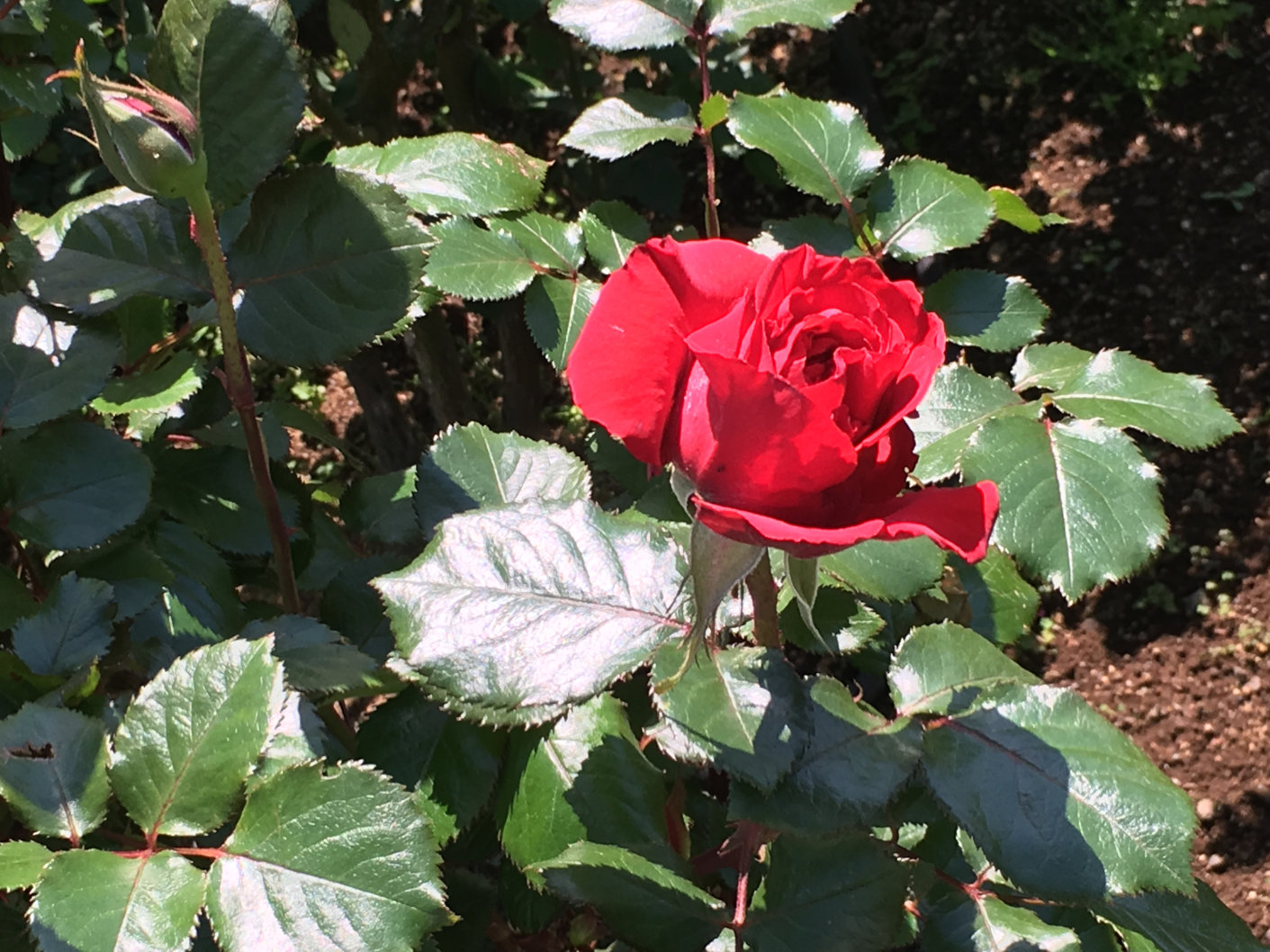 赤いバラの花