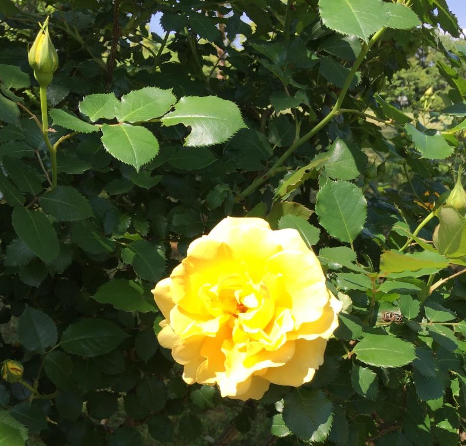 黄色いバラの花と蕾
