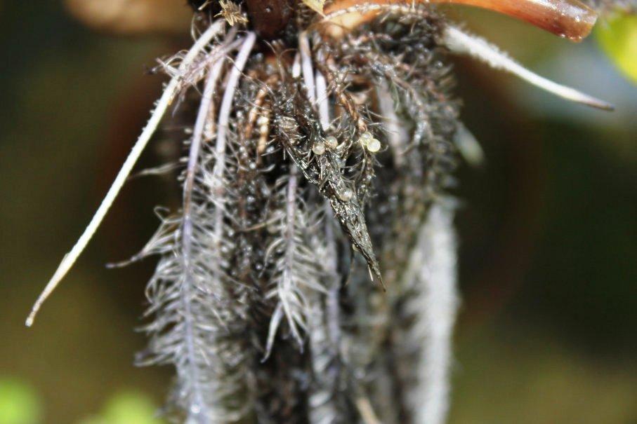 ホテイ草の根にメダカの卵