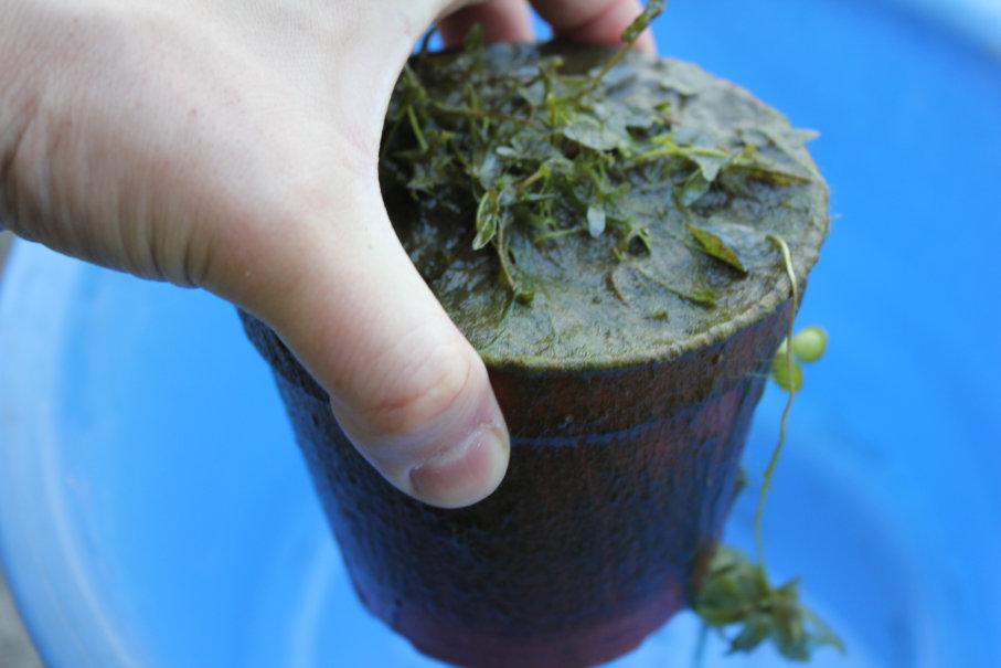 睡蓮の植え替えで古い植木鉢の様子