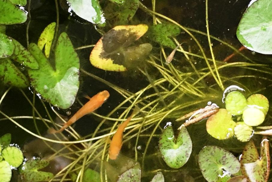餌取りに参加する楊貴妃メダカの稚魚