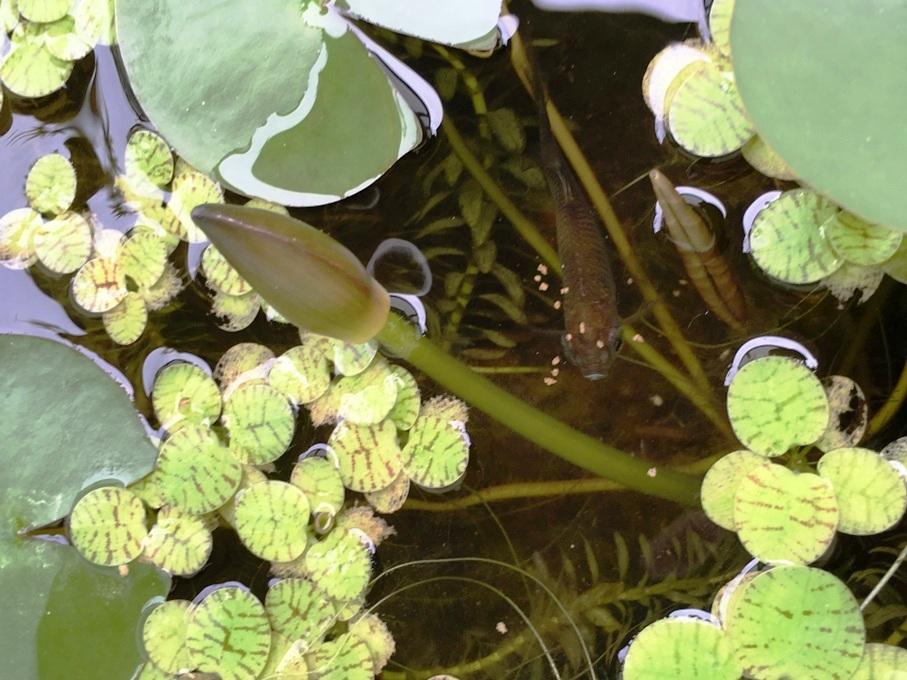 睡蓮の花芽とタナゴ