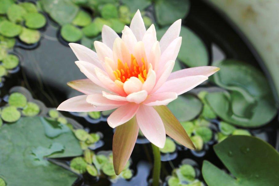 睡蓮の花(2日目)