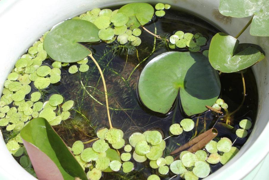 睡蓮鉢の植物