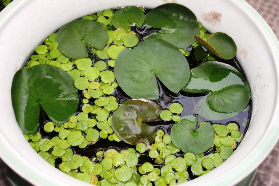 睡蓮鉢の植物が爆殖