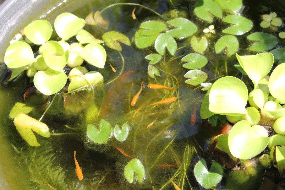 姫睡蓮の葉と藻