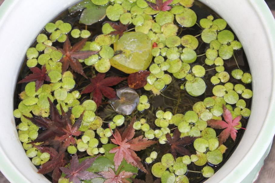 睡蓮鉢に入った落ち葉