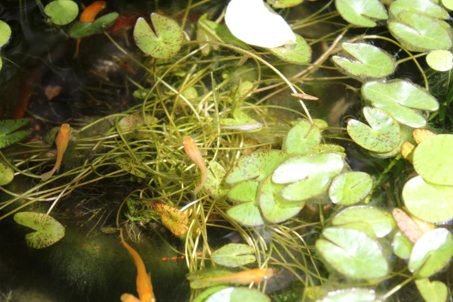 楊貴妃メダカの成魚と稚魚