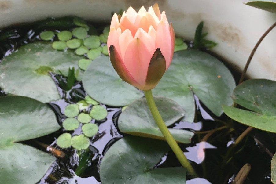 睡蓮の花が開く寸前