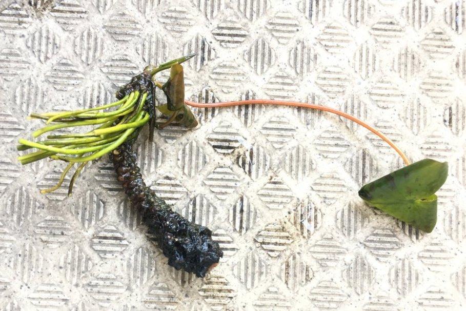 ポッキリ折れた睡蓮の茎