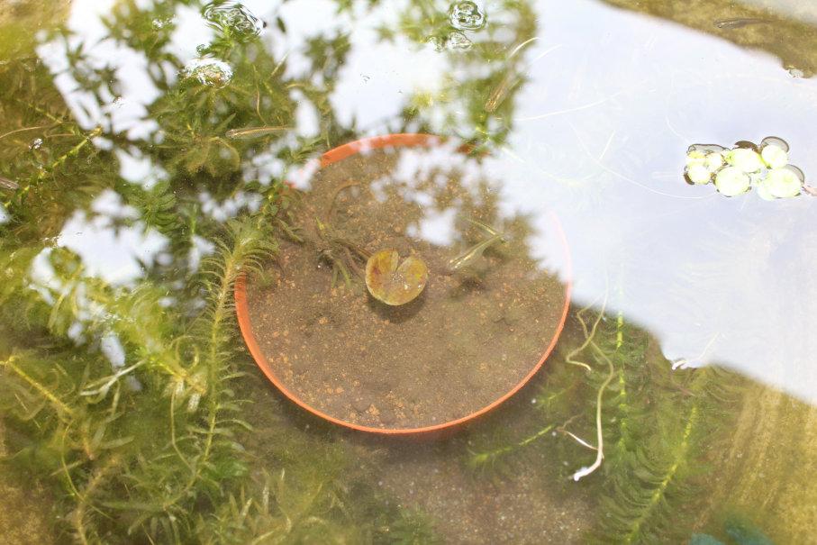 折れた睡蓮を水に投入
