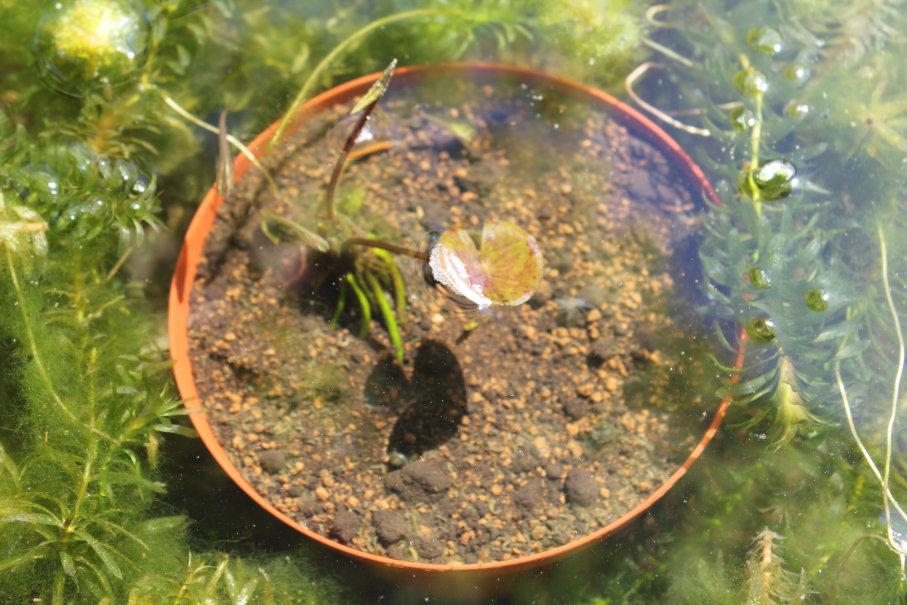 植え替えた睡蓮の1週間後
