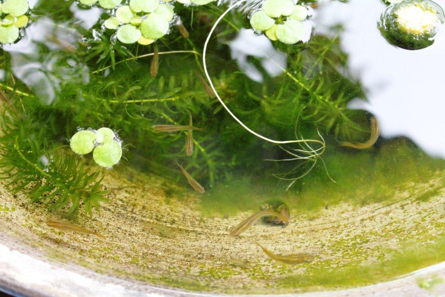 親メダカの睡蓮鉢