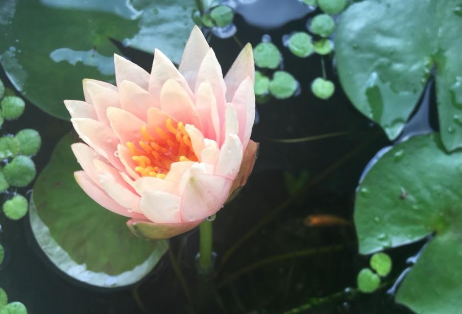 睡蓮の花 初日