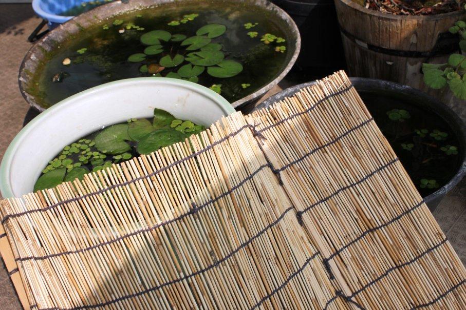 睡蓮鉢の猛暑対策