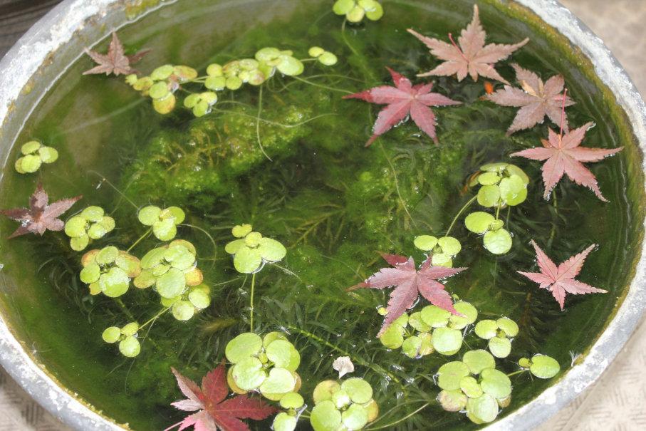 冬の睡蓮鉢の様子