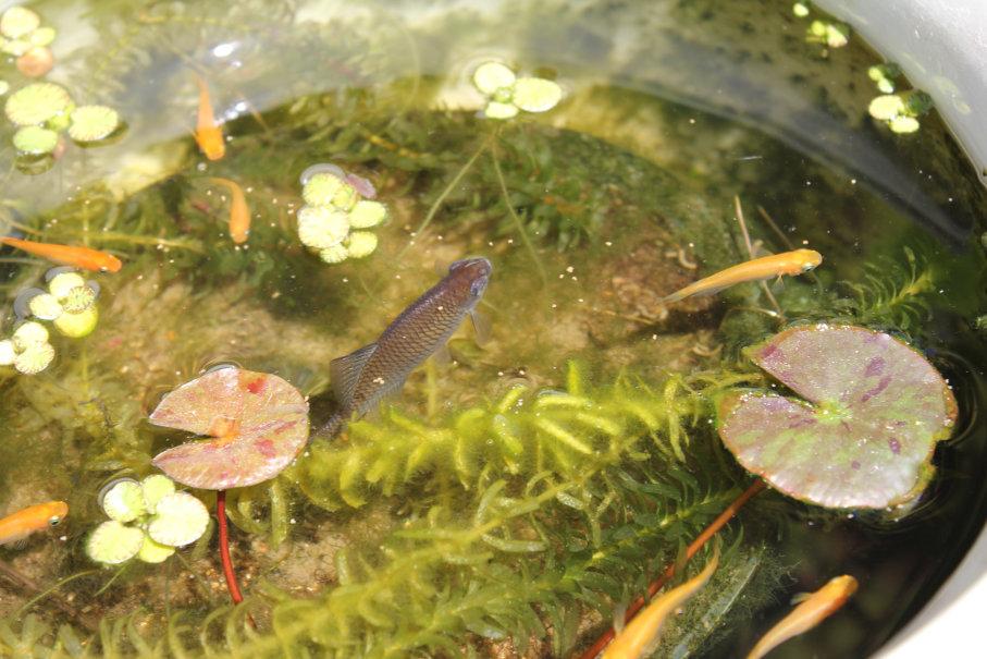 タイリクバラタナゴと楊貴妃メダカの混泳