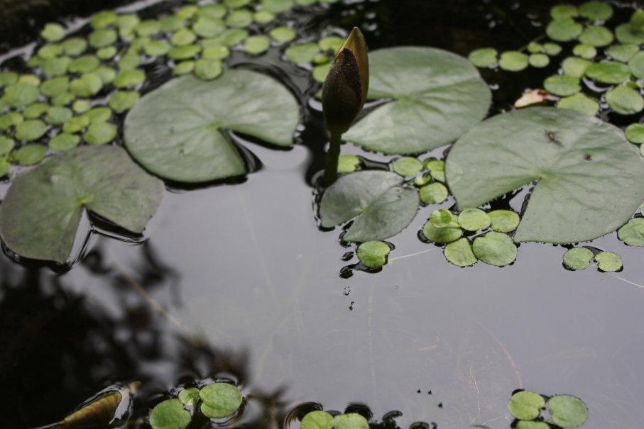 梅雨の睡蓮の花芽