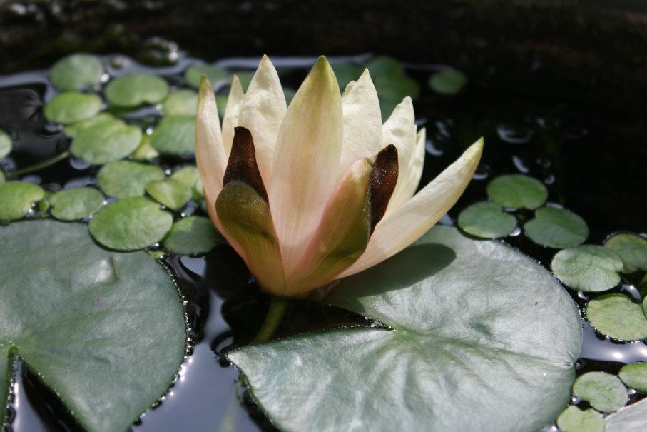 力なく咲く睡蓮の花