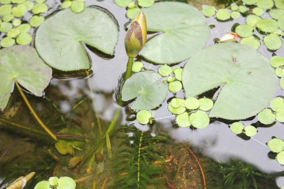 睡蓮の花芽と次の花芽