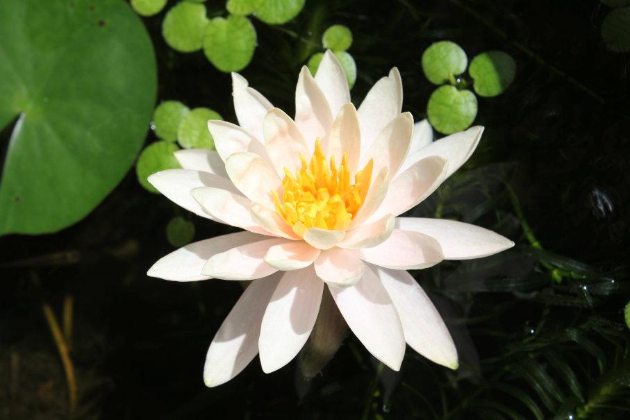 睡蓮の花のアップ