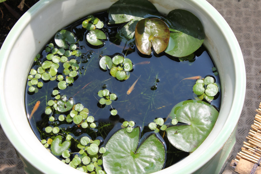 お湯になった陶器の睡蓮鉢