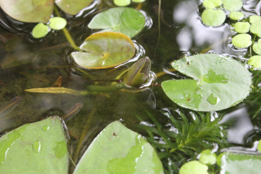 睡蓮の花芽が水面に出ていた