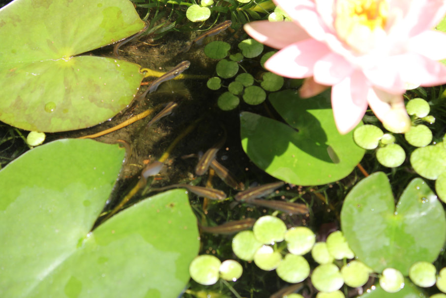睡蓮とクロメダカ
