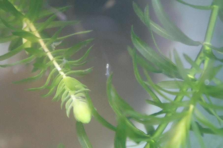ヒドラがメダカの稚魚を捕食