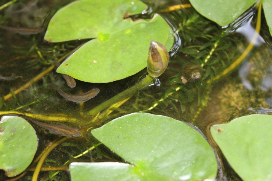 水上に顔を出す睡蓮の花芽