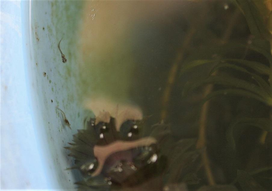 ミナミヌマエビの稚エビとメダカの針子