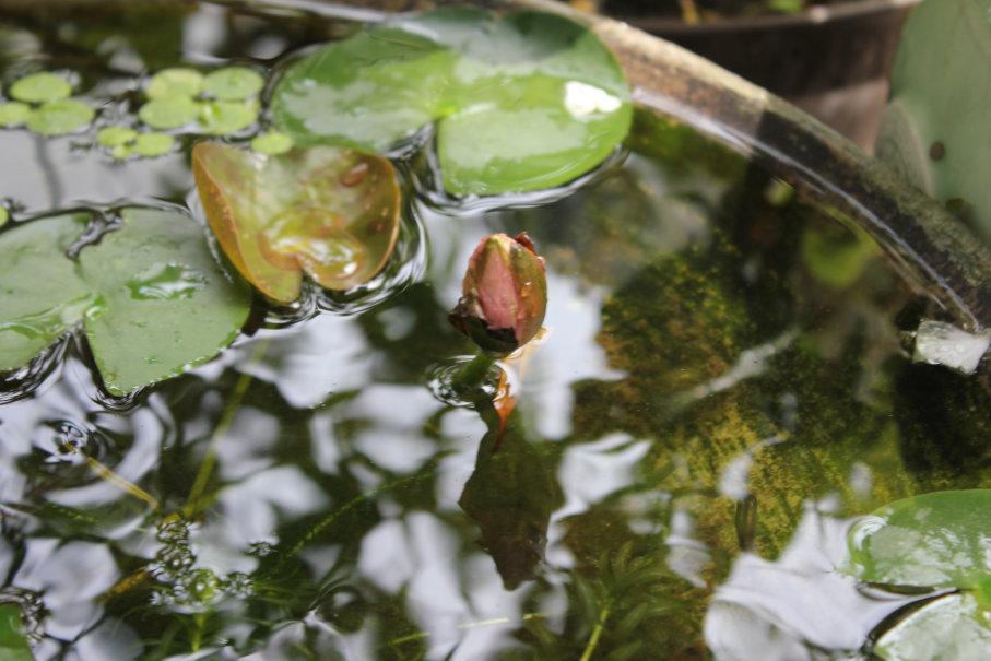 咲きそうで咲かない睡蓮