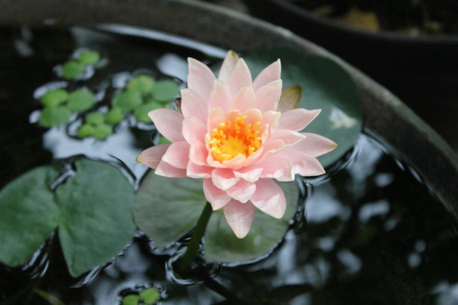 開花した睡蓮の花