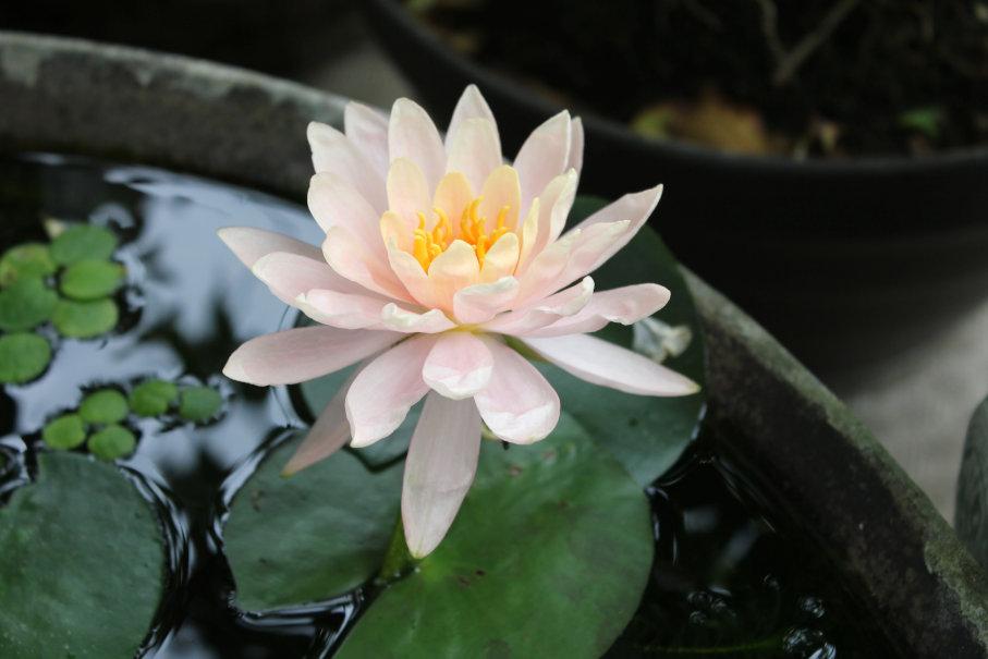 睡蓮3日目の花