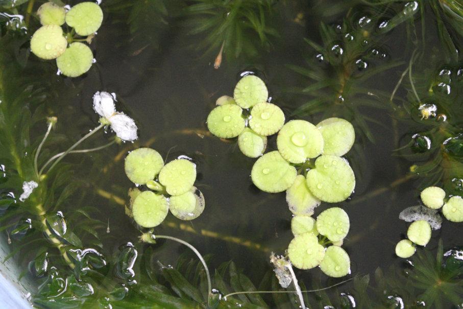 大きくなってきた楊貴妃メダカの幼魚と針子