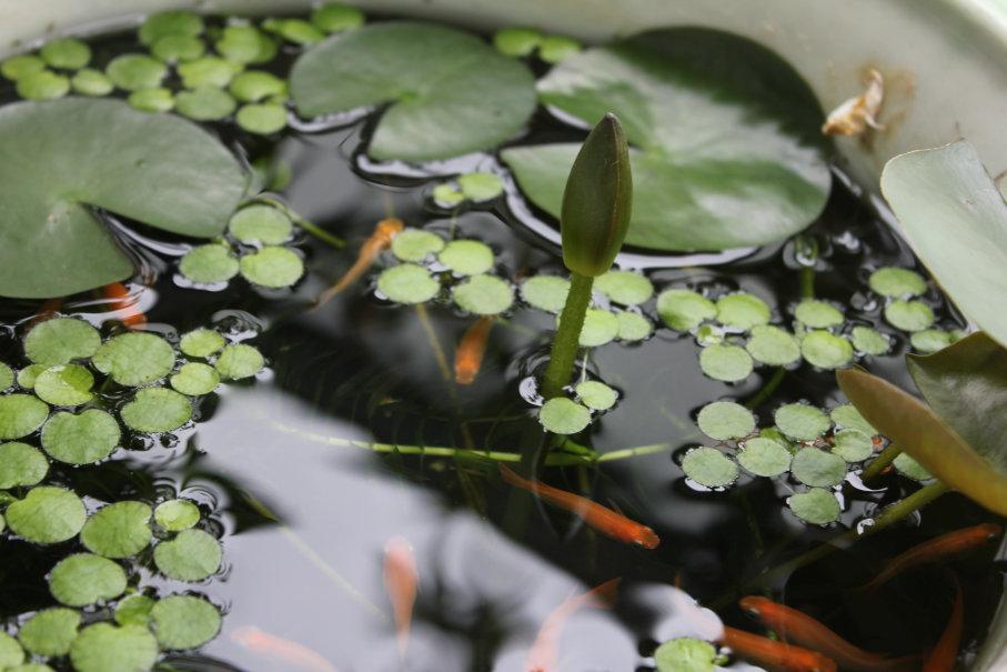 睡蓮の花芽と楊貴妃メダカ