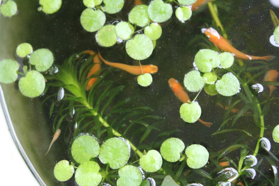 楊貴妃メダカの稚魚と親の混泳