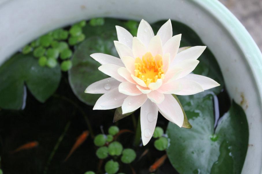 別鉢の睡蓮の花1日目