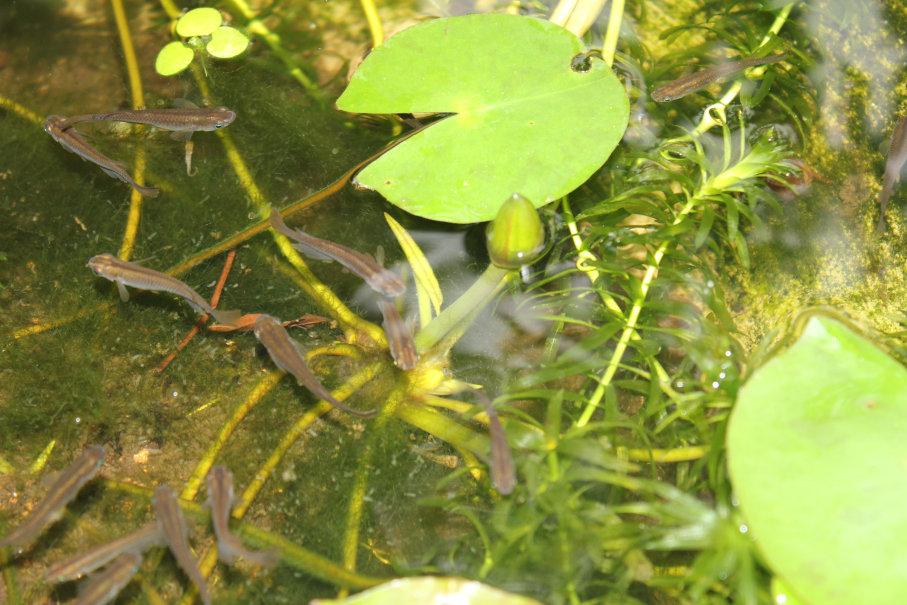 3本目の睡蓮の花芽