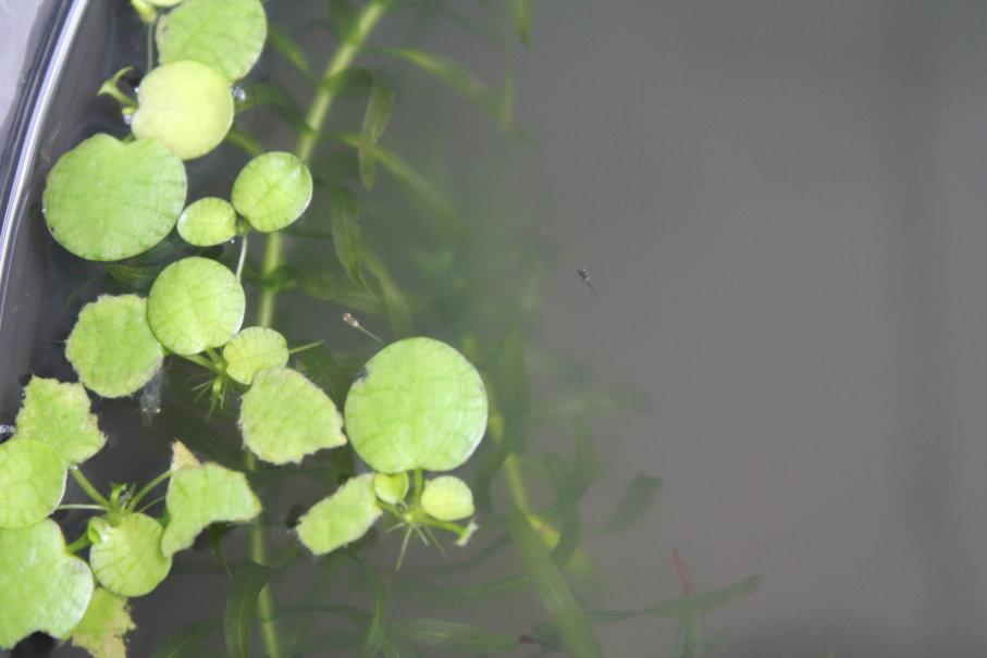 楊貴妃メダカとクロメダカの針子