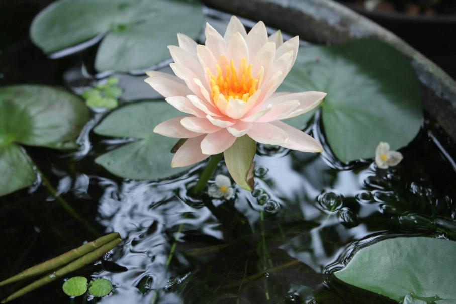 睡蓮が今年3本目の開花