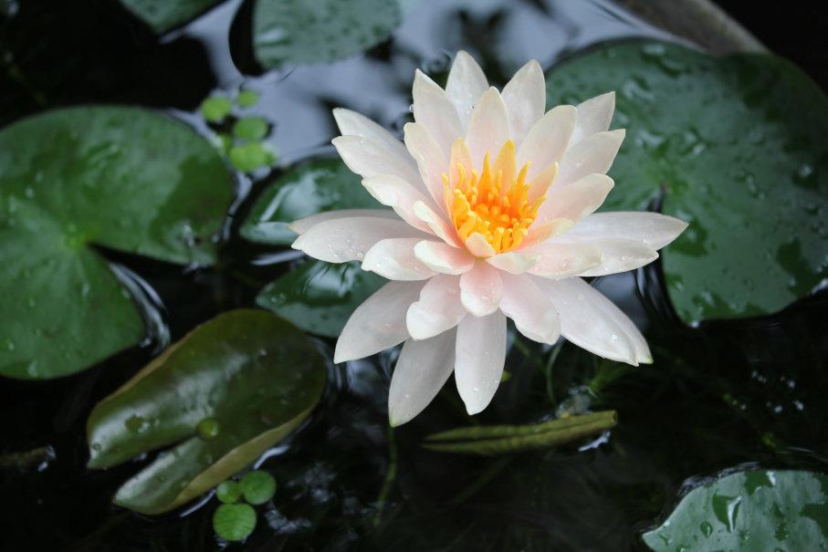 2日目の睡蓮の花