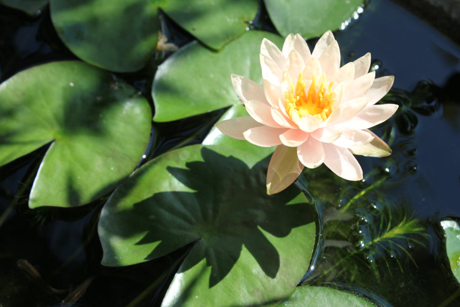 4本目の睡蓮開花