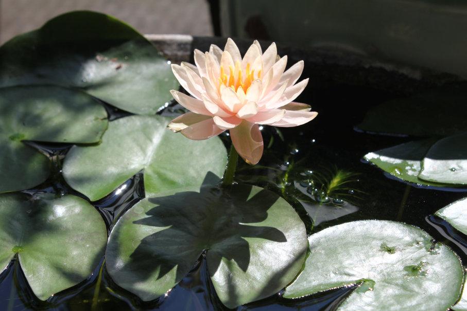 横から見た睡蓮の花