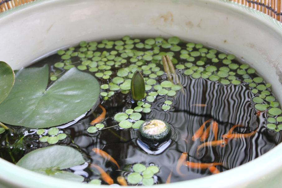 別の睡蓮鉢にも花芽が出ました